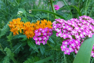 butterfly weed and yarrow