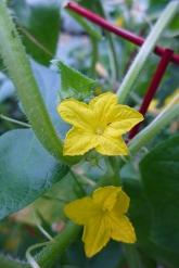 cuke flowers