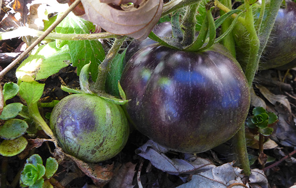 green purple tomatoes