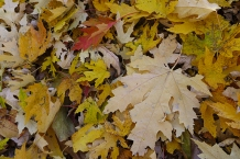 Newly fallen leaves