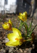 the first battered crocuses