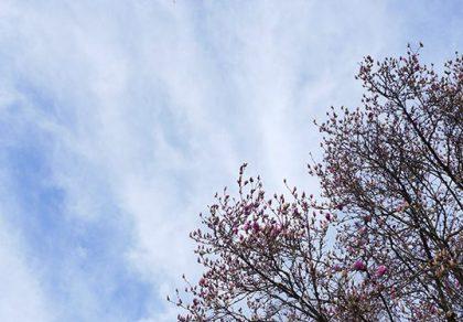 magnolia-02