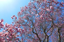 magnolia-07