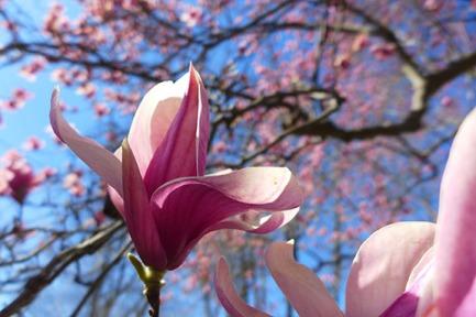 magnolia-08