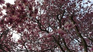 magnolia-10