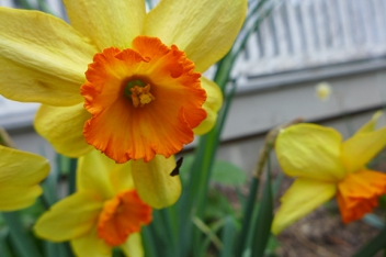 daffodil Capri Elizabeth