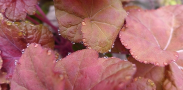 dewdrops on heuchera