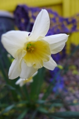 sweet love daffodil