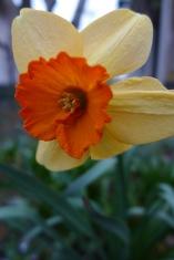 capri Elizabeth daffodil