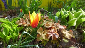 tulip blooming