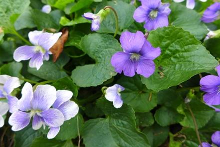 garden variety violets