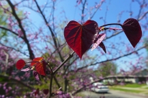 red bud hearts