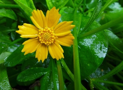 """Nana"" mouse ear coreopsis"