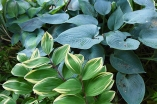 Solomon's seal and hostas