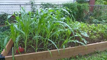 corn July 11