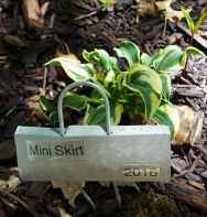 "Hosta ""Mini Skirt"""