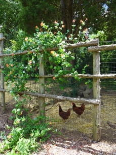 Chickens in Fence