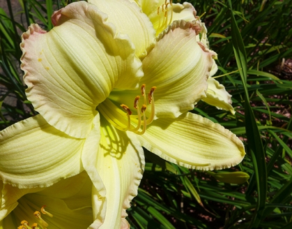 "Day Lily ""Beautiful Edgings"""
