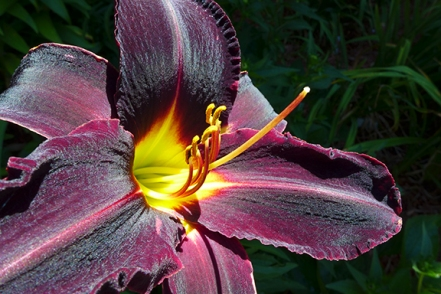 "Day Lily ""Night Wings"""