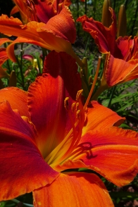 "Day Lily ""Alabama Jubilee"""