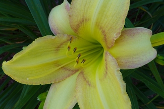 "Day Lily ""Delicate Design"""