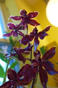 """""""Bobcat"""" orchid"""