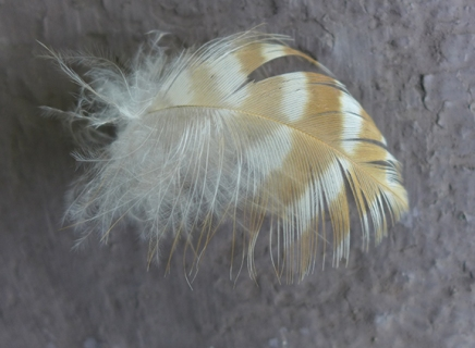 hawk feather