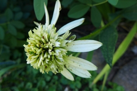fancy coneflower