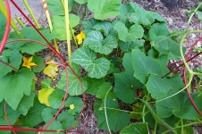 more mystery vines in the squash patch