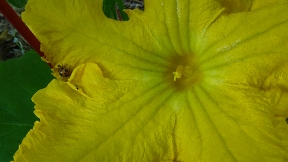 squash bloom