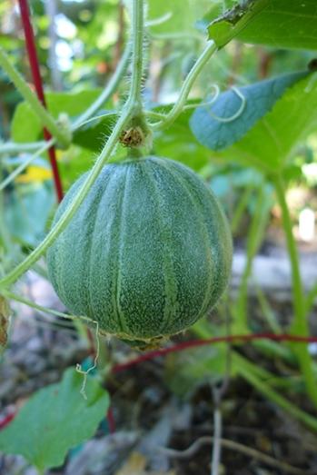 "melon ball ""Jenny Lind"""