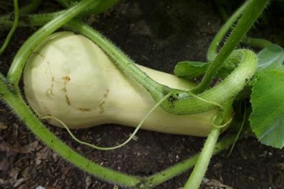 growing squash