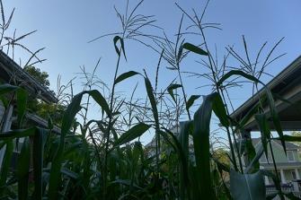 urban cornfield