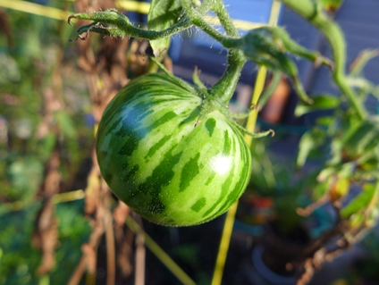 Dragon's eye tomato