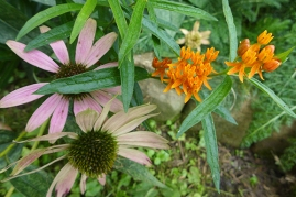 echinacea and butterfly weed