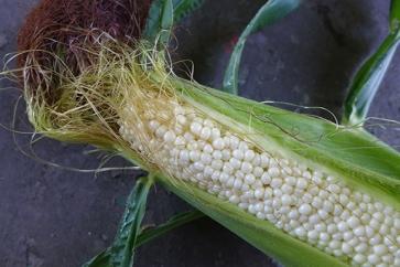 shoepeg corn