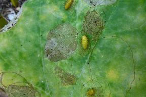 squash lady beetle larva