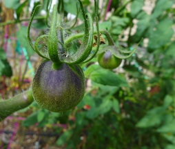 glistening fuzz on the tomato