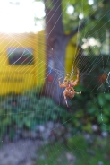 garden spider moving