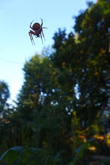 garden spider suspended