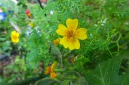 little marigold