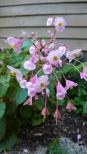 Hardy Begonias
