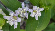 Toad Lilies