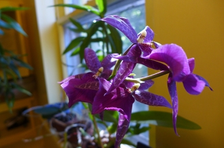 Vader Orchid
