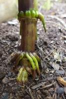 corn toes