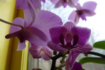 two varieties of orchid