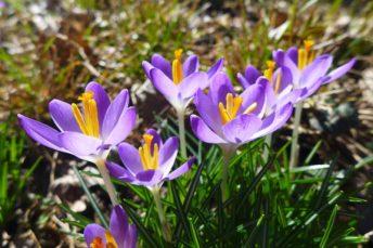 purple crocuses in the sun