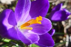 big purple crocus