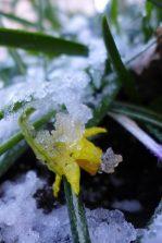 icy daffodil