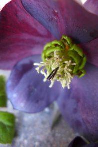 dark hellbore bloom